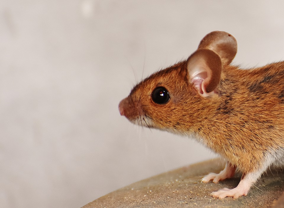 hlava myši