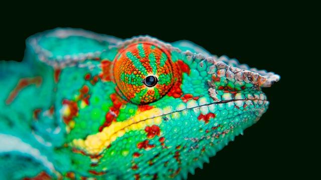 Chameleon vábí partnera