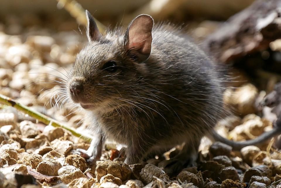 myš venku
